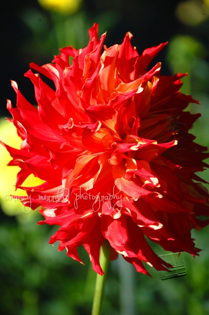 Red Dahlia in profile