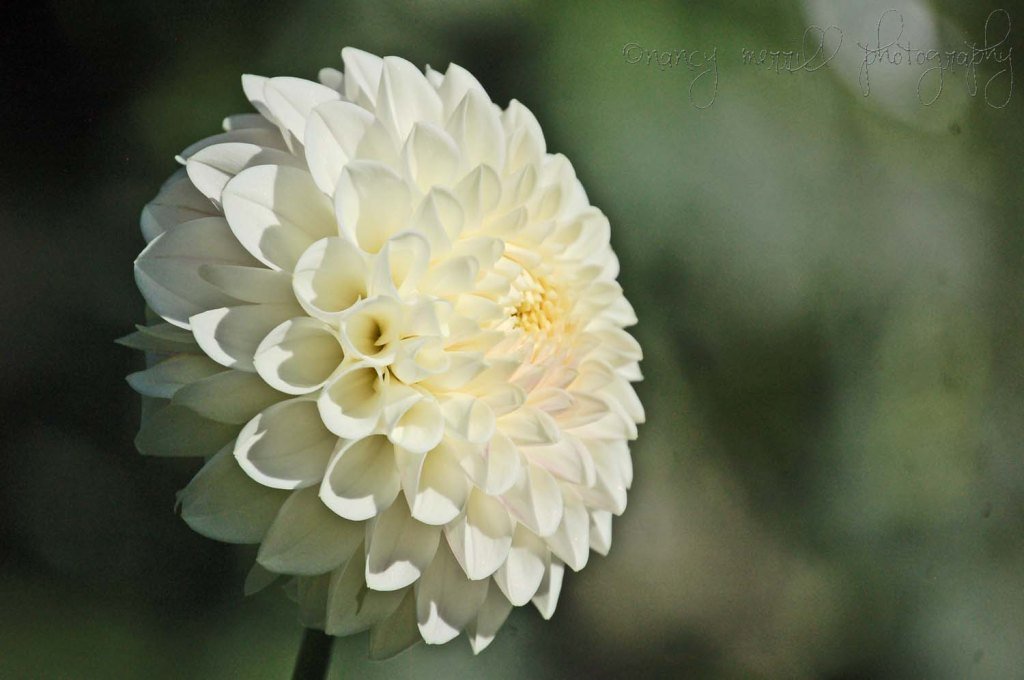 White dahlia - layers
