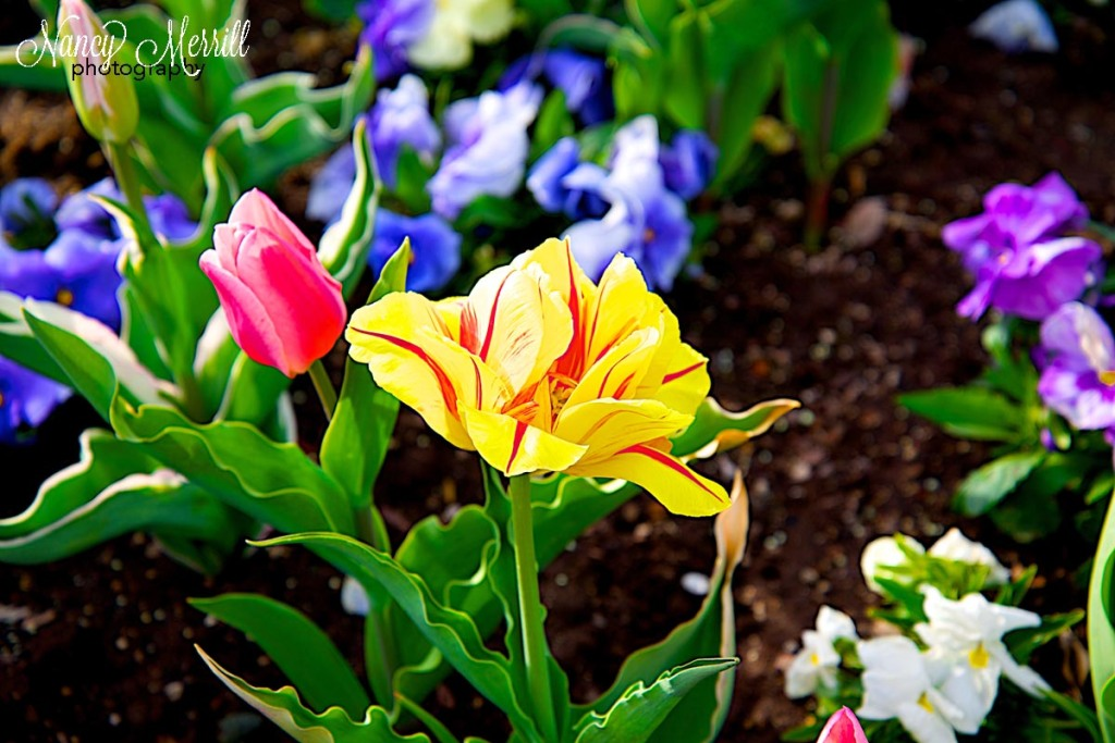 Striped yellow tulip